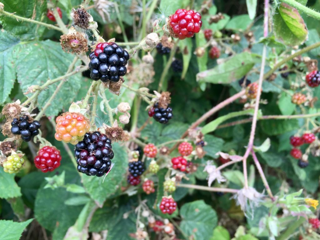 New River Path Blackberries Raspberries